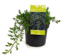 Comanda Juniperus conferta Blue Pacific, ienuparul tarator