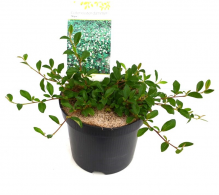 Comanda Cotoneaster dammeri  - Cotoneaster tarator de vanzare