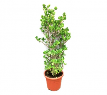 Copacul banilor (Crassula ovata) 110 cm - Copacul banilor de vanzare, pret avantajos