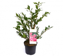 Comanda Euonymus alatus (Evonimus alatus) - Arbusti decorativi de vanzare