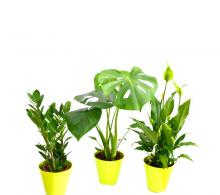 Set de 3 plante care purifica aerul - crinul pacii, monstera, zamioculcas