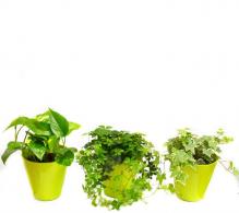Set de de 3 plante curgatoare interior