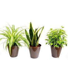 Set de 3 plante bicolore - flori de apartament