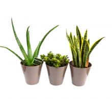 Set de 3 plante suculente - plante suculente si cactusi