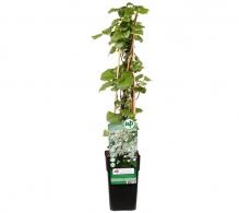 Comanda Hortensia cataratoare (Hydrangea petiolaris)  de vanzare pret