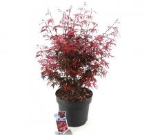 Comanda Artar japonez rosu Shaina (Acer palmatum Shaina) de vanzare pret