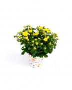 Comanda Crizantemă online