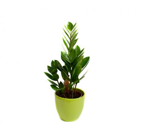 Comanda Zamioculcas H 25 cm (Zamioculcas zamiifolia) de vanzare pret