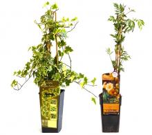 Pachet plante cataratoare in nuante aurii