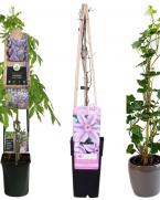 Pachet plante cataratoare cu flori colorate