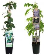 Pachet plante cataratoare cu flori parfumate