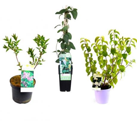 Pachet plante - Gradina cu parfum