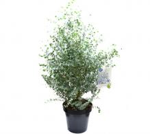 Eucalipt  plante de interior la ghiveci