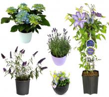Pachet 2 - Gradina cu flori albastre-mov