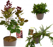 Pachet plante - Gradina in nuante rosiatice