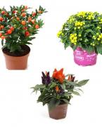 Pachet plante pentru decor de toamna - 1