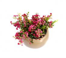 Gaultheria mucronata - flori de gradina