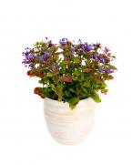 Ceratostigma plumbaginoides - Plumbago - flori albastre de gradina