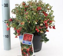 Merisorul - Plante aromatice si medicinale