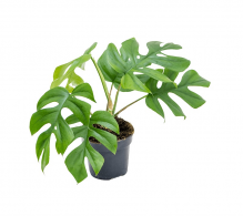 Monstera  'Little Sister' - plante care purifica aerul